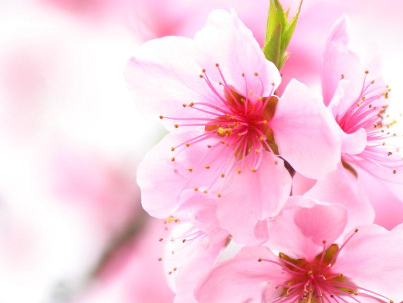 Cvetna oaza - Page 8 Cherry-blossom-pink-flowers-7